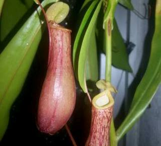 /site/Nepenthes%20ventrata