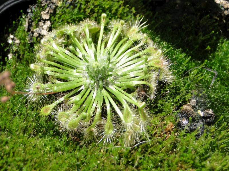 Plantas Carnivoras Portugal Fuzzbeed Hd Gallery